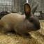 Кролик изабеллового окраса