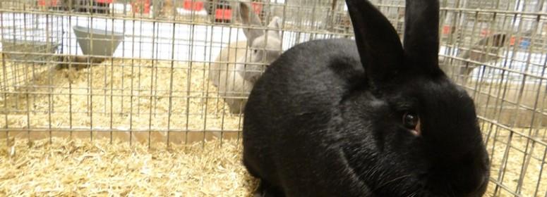 Кролик породы аляска