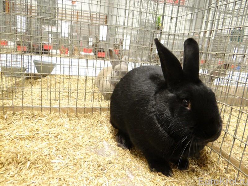 Кролик аляска на выставке