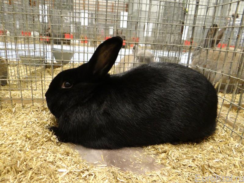 Кролик  аляска в клетке
