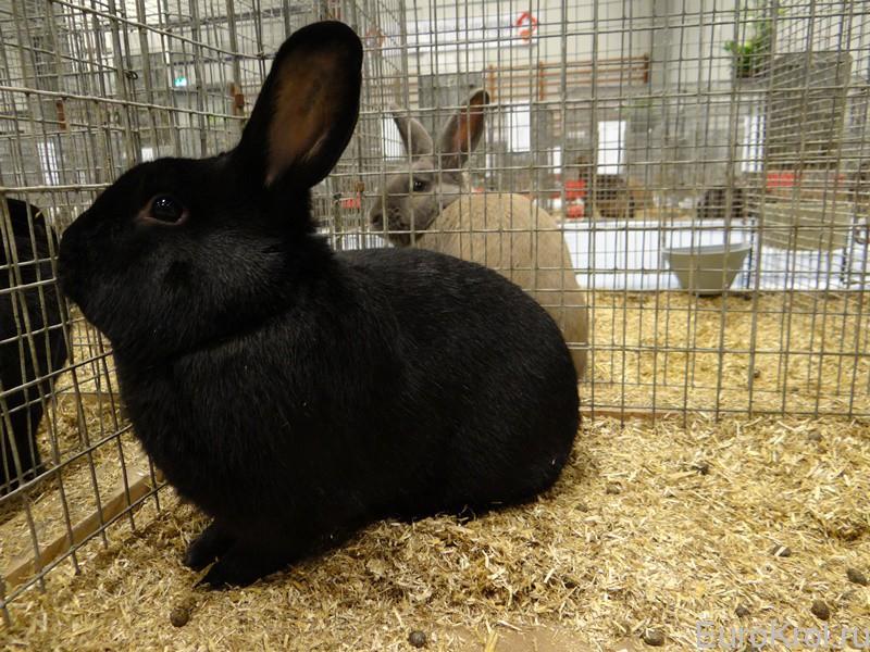 Кролик чёрный  аляска