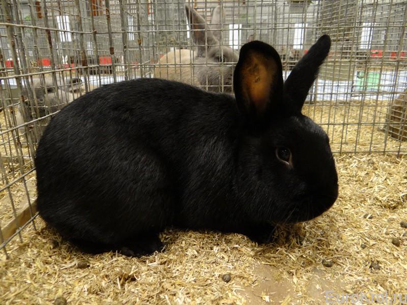Кролик чёрного окраса  аляска