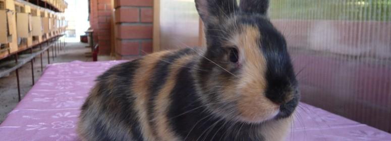 Японский кролик