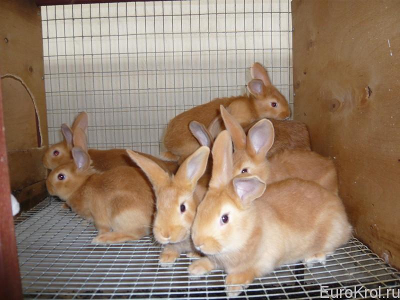 Бургундские крольчата