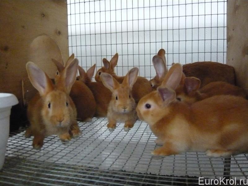 Бургундские крольчата в клетке
