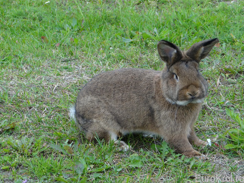Венский серый кролик