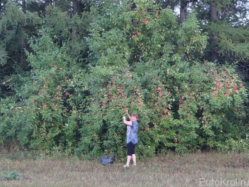 яблони в поле