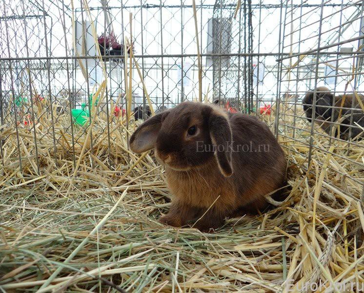 Кролик карликовый баран гавана