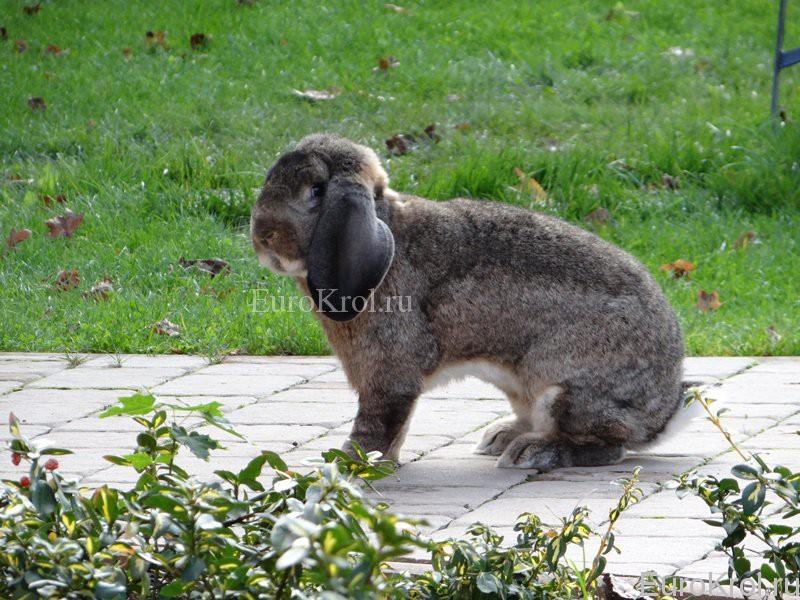 Французский баран агути