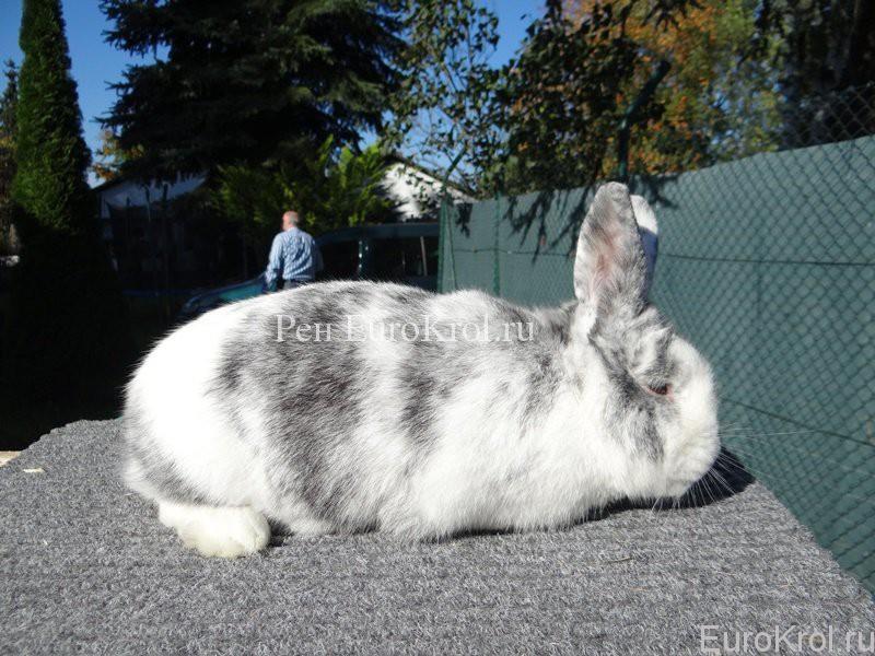 Кролик породы рен
