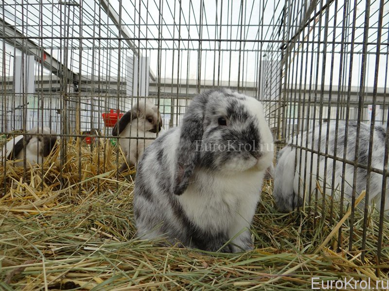 Кролик карликовый баран