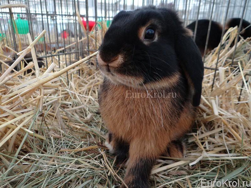 Кролик карликовый баран чёрно-огненный