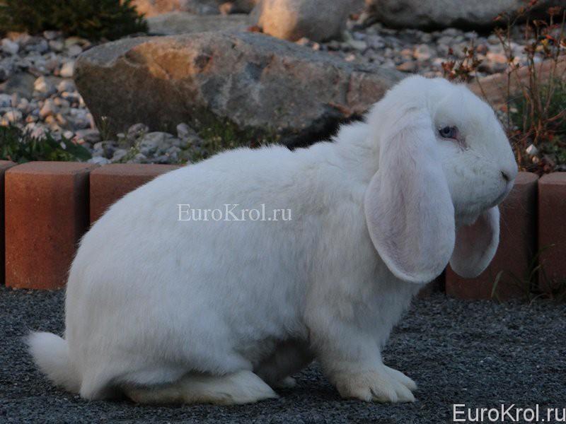 Французский белый баран с голубыми глазами