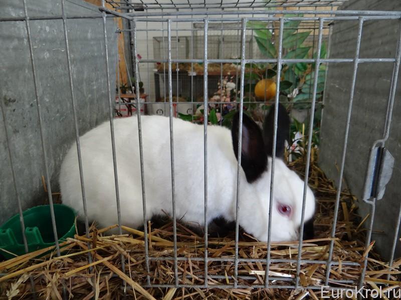 Кролик породы Русский - Russen