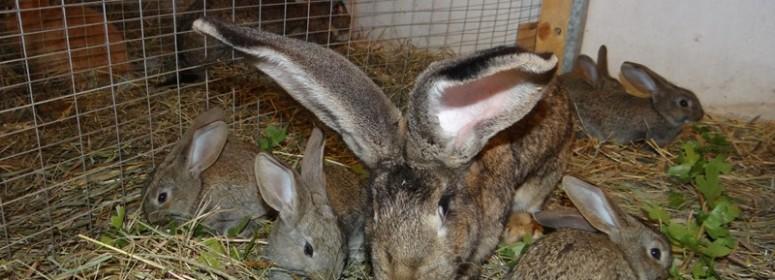 Молочность крольчихи