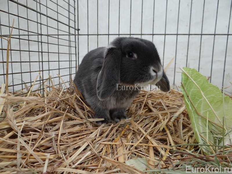 Белоостевой голубой кролик