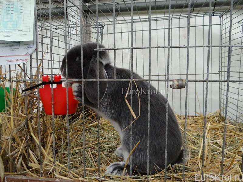 Бело-остевой голубой кролик