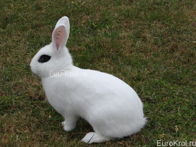 Белый кролик хотот