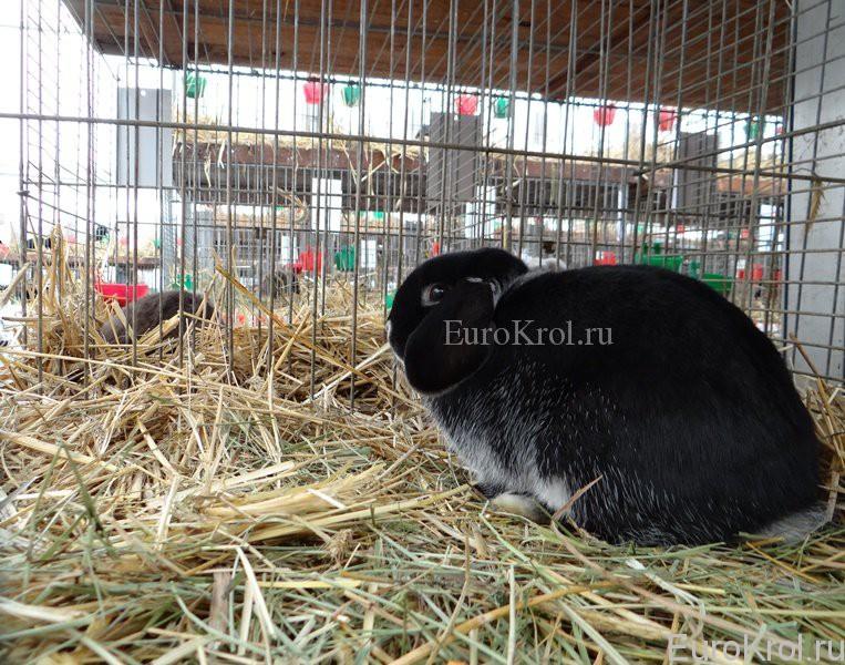 Карликовый баран бело-остевой чёрный