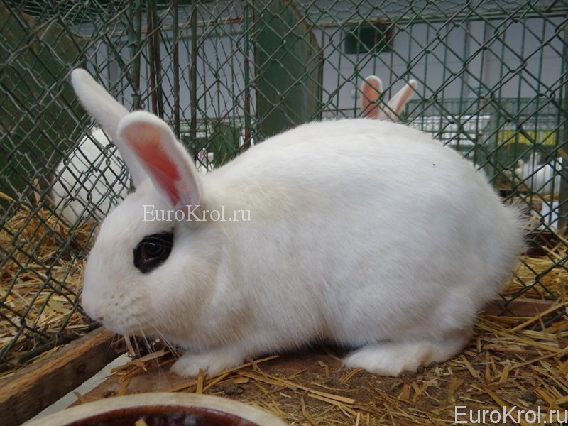 Кролик белый хотот