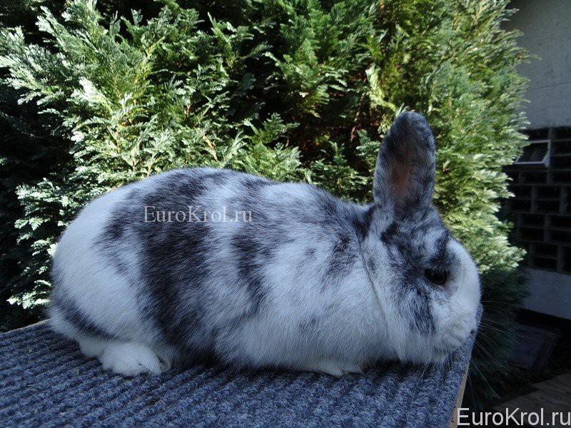 Кролик рен