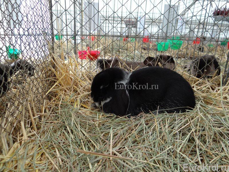 Кролик Zwergwidder weißgrannenfarbig schwarz