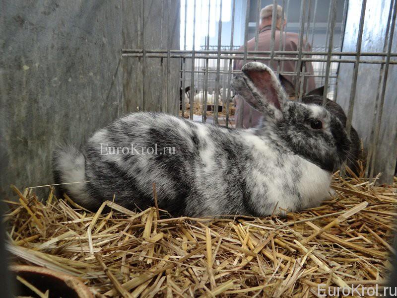 Порода кролика рен