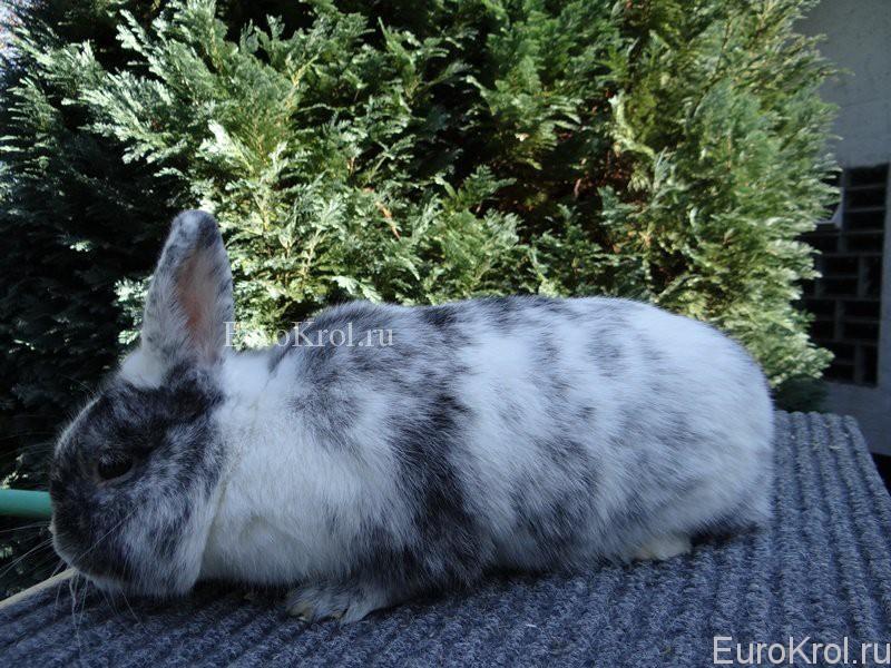 Порода кроликов рен