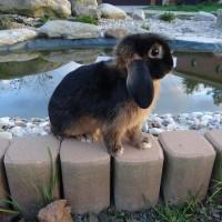 Карликовый кролик чёрно-огненный баран