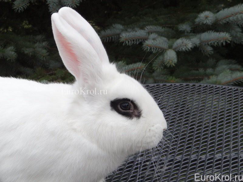 bílý králík hotot