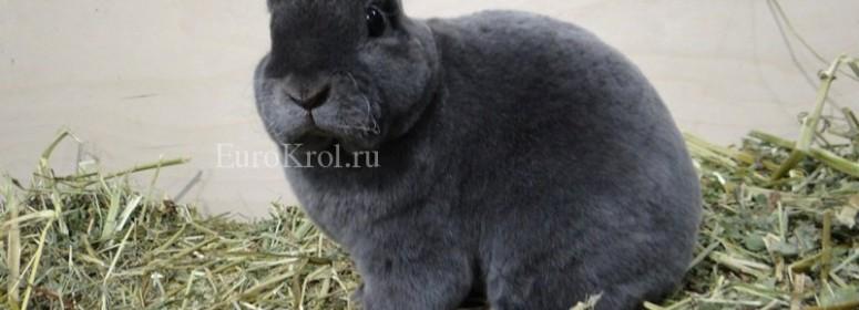 Кролики породы карликовые рексы