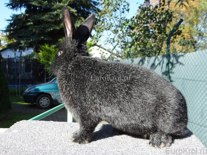 Кролик Немецкое Большое Серебро чёрное