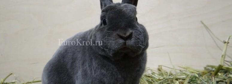 Кролик породы карликовый рекс