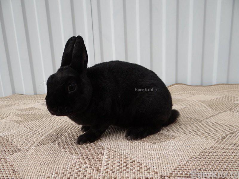 Кролик породы рекс карликовый