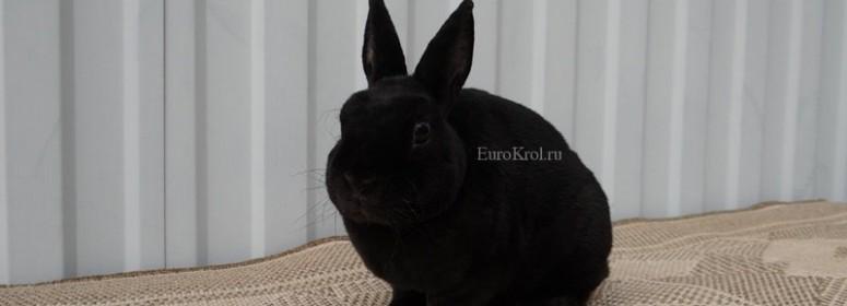 Кролик рекс карликовый