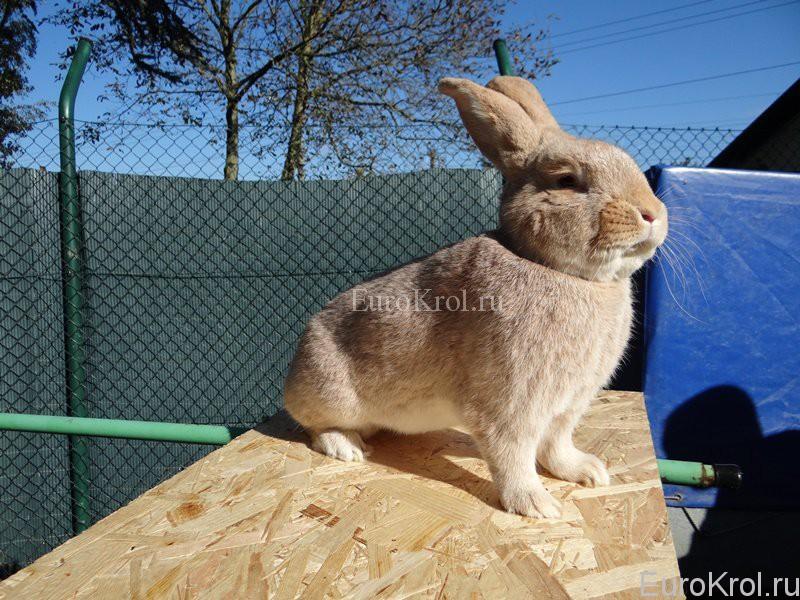 Кролик Deutsche Großsilber gelb