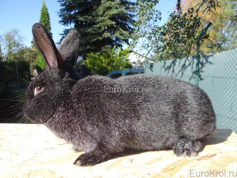 Порода кролика Немецкое Большое Серебро чёрное