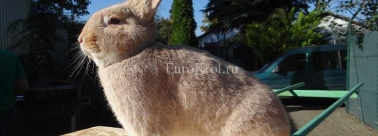 Порода кролика Deutsche Großsilber gelb