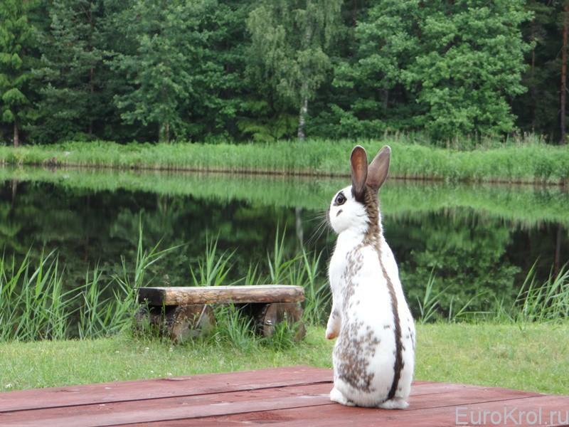 Кролик Английский строкач