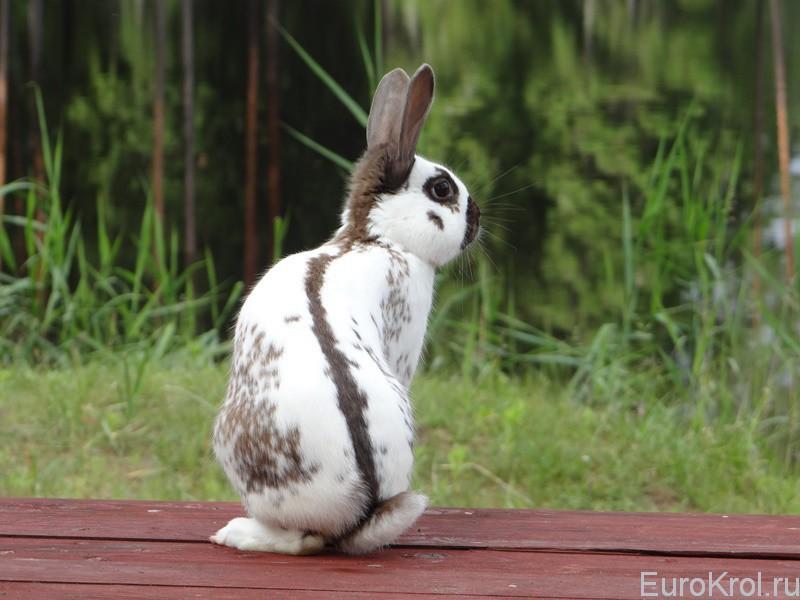 Английский строкач кролик
