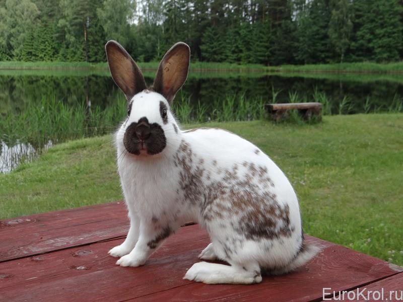 Кролик английский строкач на озере
