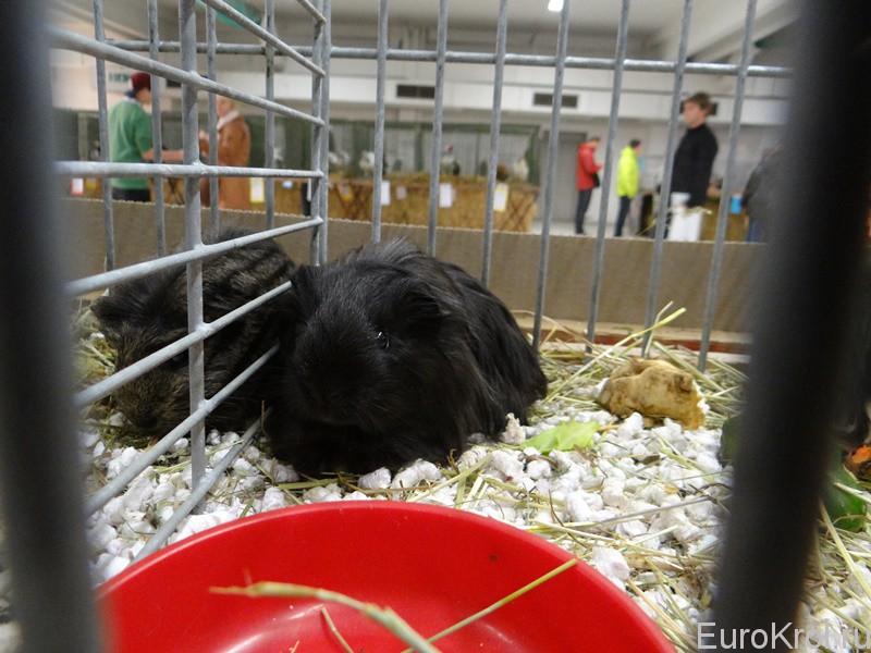 Морские свинки на выставке в Чехии