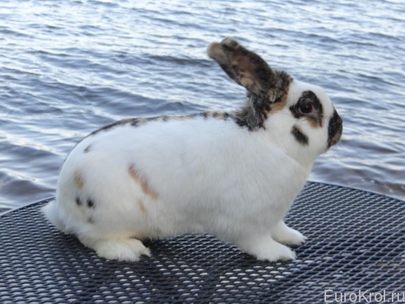 Кролик трёхцветный строкач
