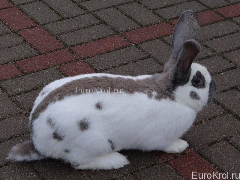 Кролик немецкий пёстрый великан изабелла