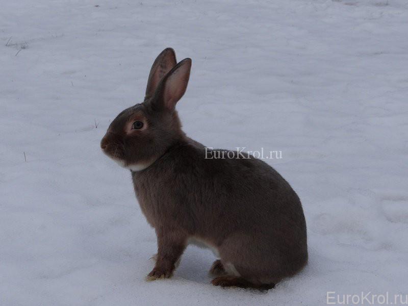 Кролик сатин окрас люкс