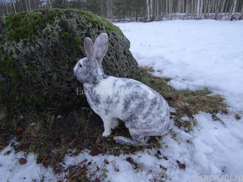 Порода кролика рекс рен