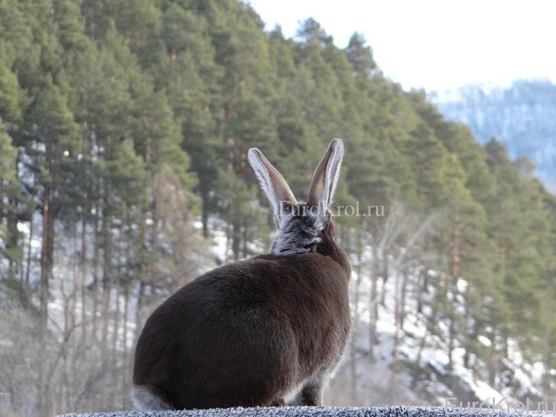 Белоостевой кролик