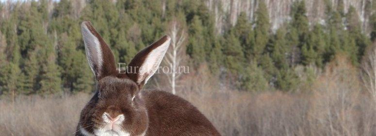Белоостевые кролики гавана