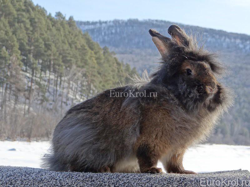 Порода кроликов с бородой фото она