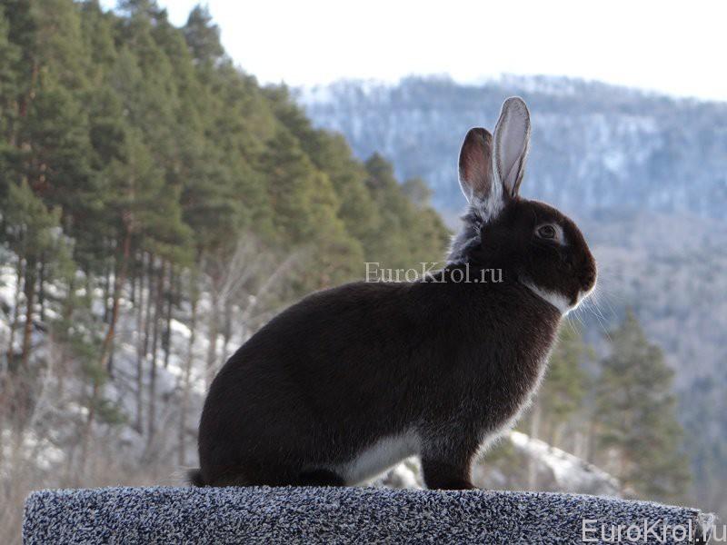 Кролик белоостевой гавана